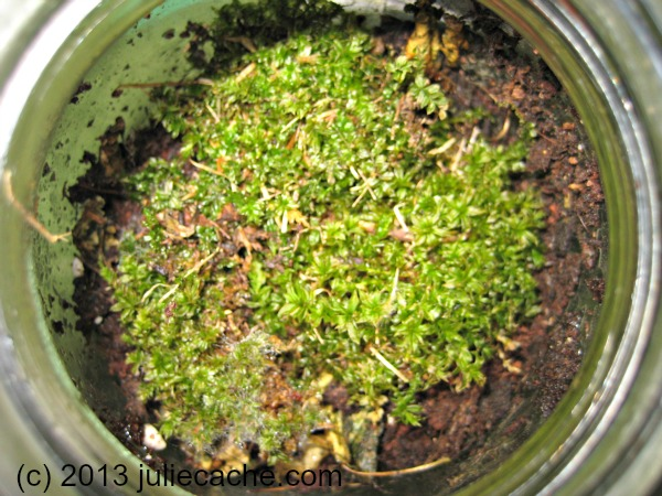 moss for terrarium