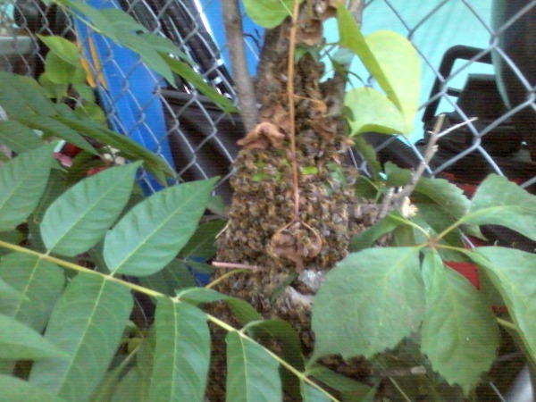 We found the bees moved from a downed tree branch to a lilac bush.