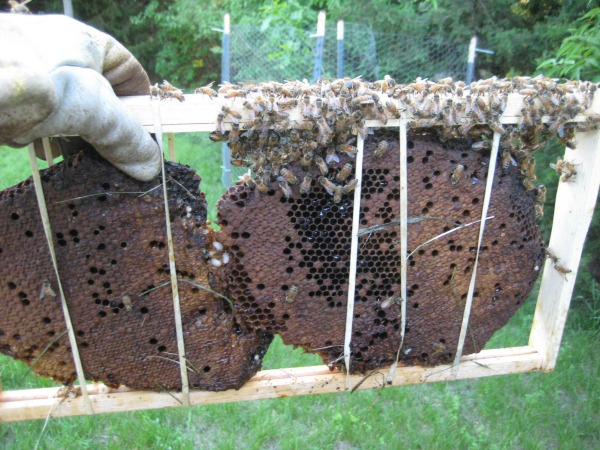 brood iola bees in frame