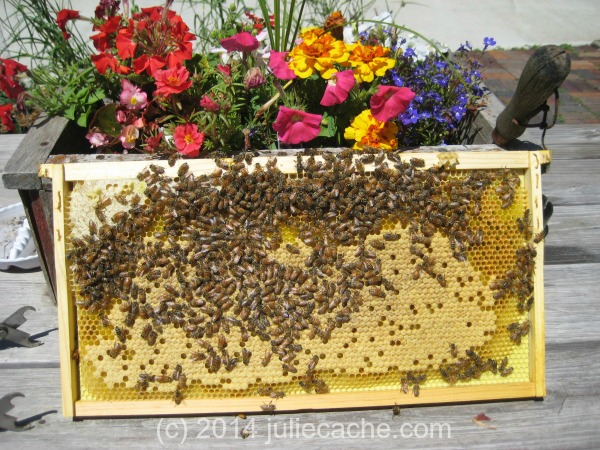 honey bee brood