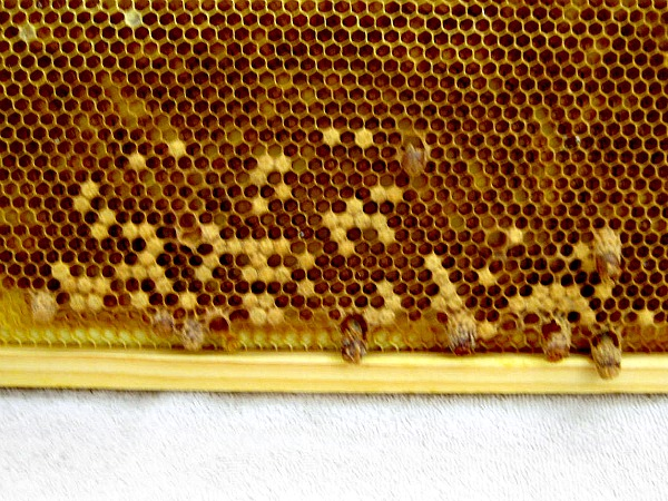 queen cells 6 27 14 obs hive (5)