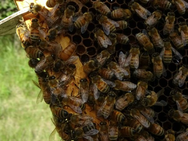 queen bee, swarm, honey bee