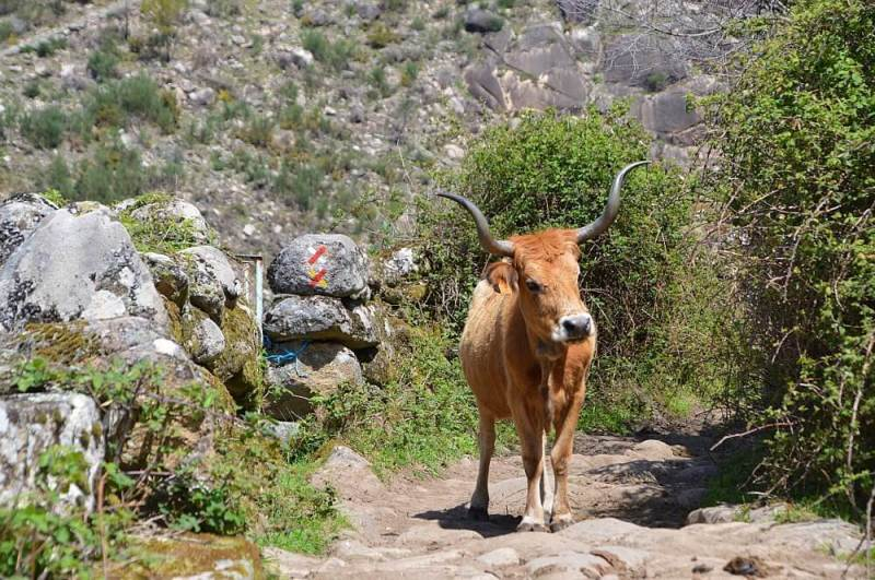 Not this way. A Cachena cow guards the path, Peneda-Gerês National Park