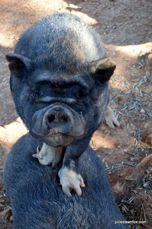 Curious piglet, Quinta dos Vales, Estômbar, Algarve, Portugal