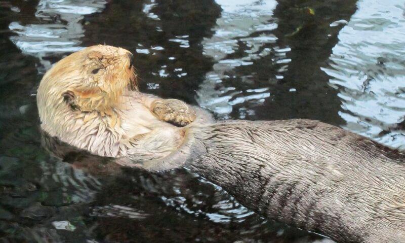 Sea otter, Lisbon Oceanarium