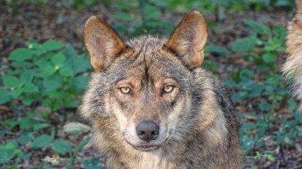Iberian wolf face on