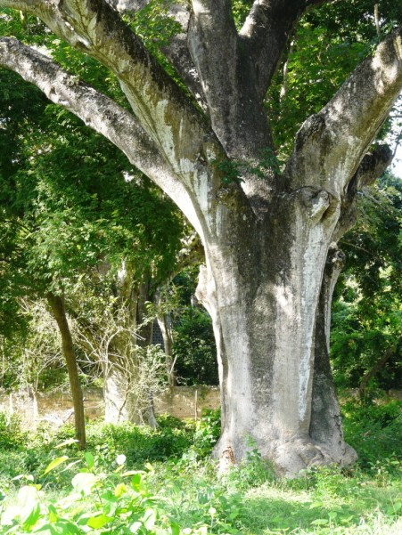 baobab x 2