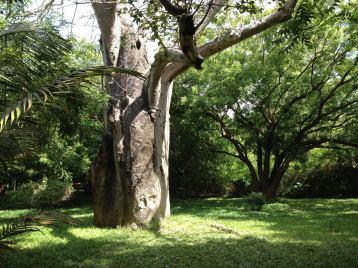 garden baobab