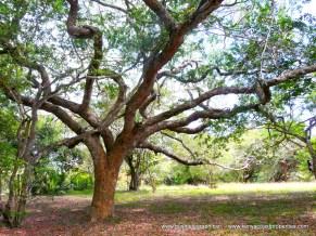 Kilifi Creek tree