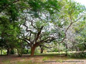 Kilifi Creek tree2