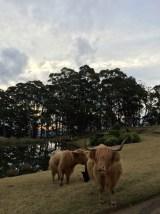 Spicers Peak Lodge cows