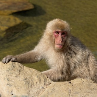 japanese snow monkey funny face