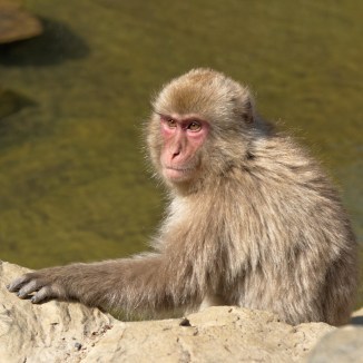 japanese snow monkey beautiful face