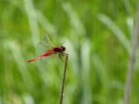 Broad Scarlet/Feuerlibelle (Crocothemis erythraea)