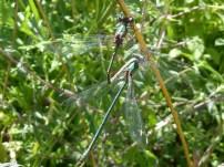 Western Willow Spreadwing/Weidenjungfer ([Chalco-] Lestes viridis)