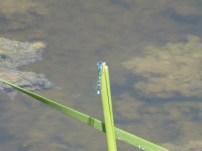 Common Bluet/Becher-Azurjungfer (Enallagma cyanthigerum)