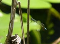 Common Bluetail/Grosse Pechlibelle (Ischnura elegans)