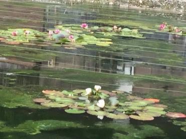 Lotus flowers.