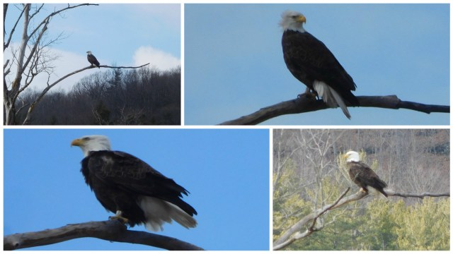 schoharie_bald_eagle