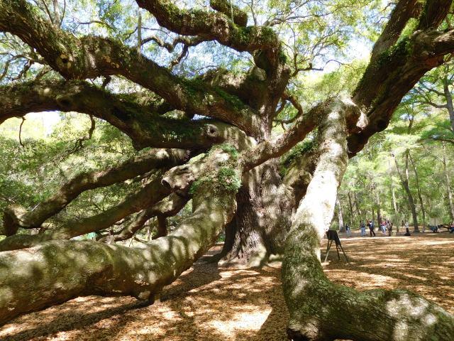 angel_oak_tree_