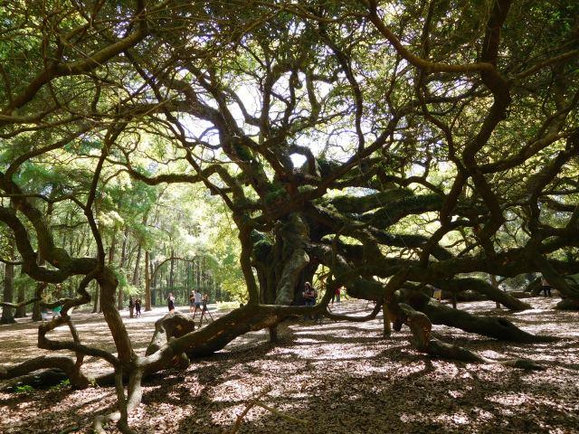 angel_oak_tree_charleston