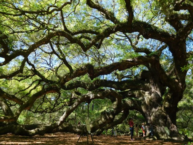 Angel Oak Tree, South Carolina | Julie Journeys