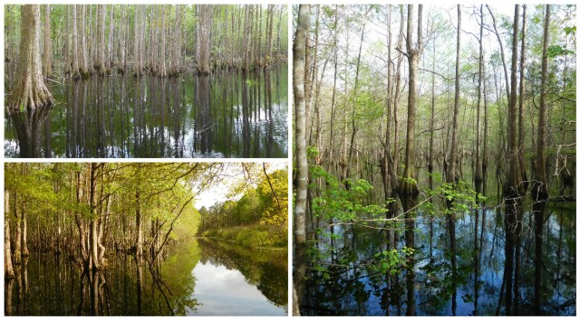 ion_swamp_francis_marion_national_forest_2