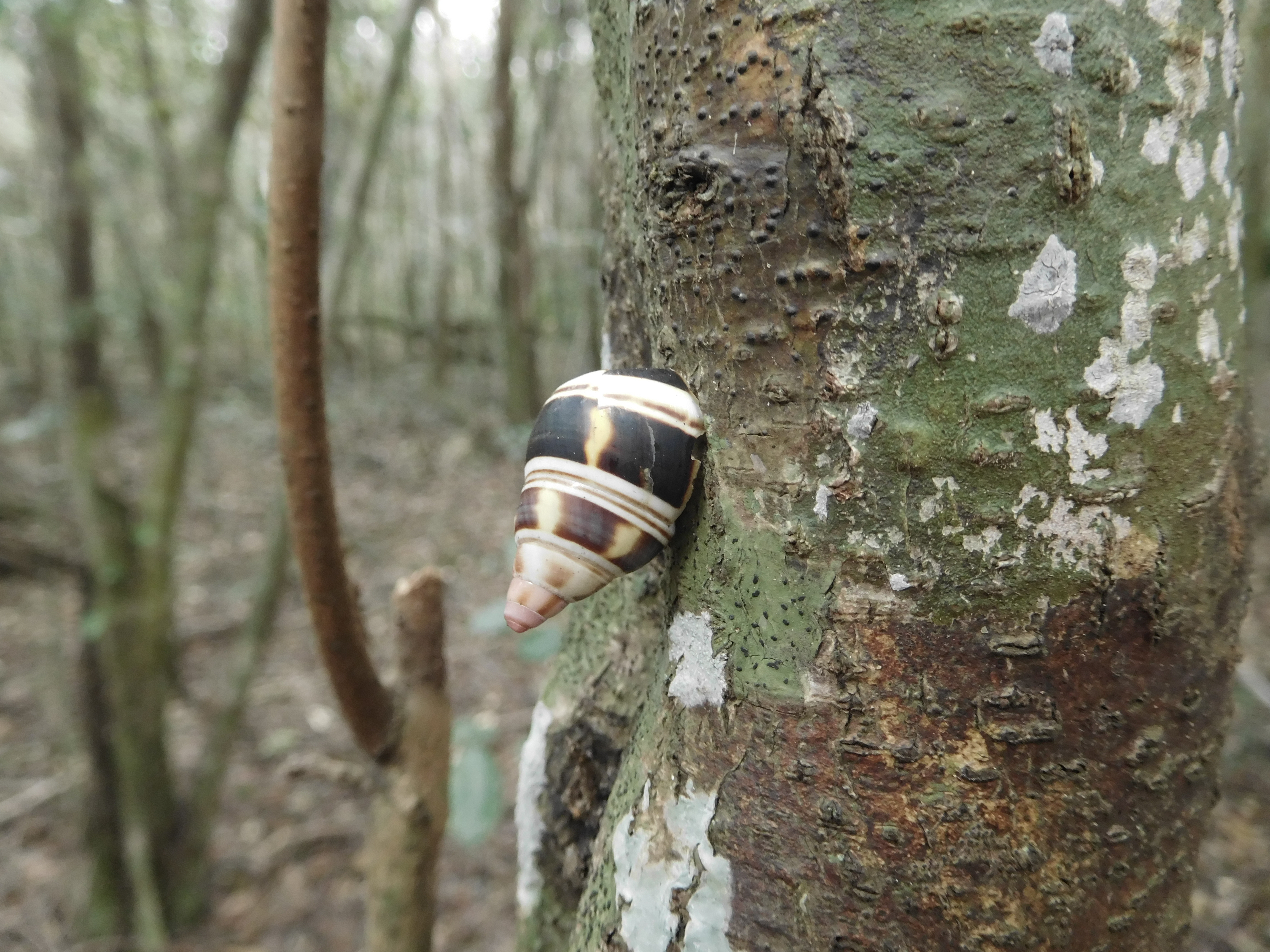 on other trees be sure to keep an eye peel for the adorable tree snails  u2013 let me know how many you can find  hike castellow hammock park florida   julie journeys  rh   juliejourneys