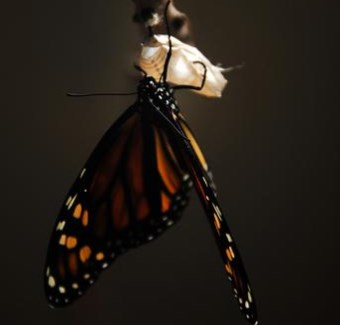 butterfly emergying from chrysalis