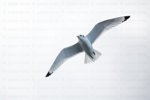 Mouette tridactyle en vol, Atlantique.