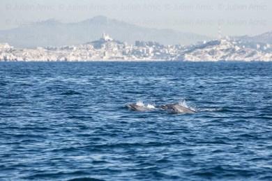 Grands Dauphins, Tursiops truncatus, dans la rade de Marseille, avec vue sur Marseille et Notre-Dame-de-la-Garde (la Bonne-Mère), avec l'archipel du Frioul au premier plan à droite et à gauche.