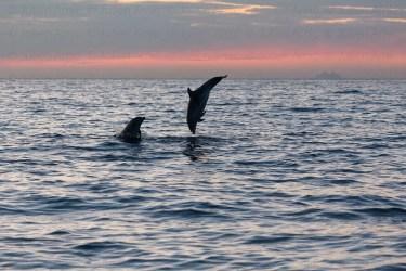 Grands dauphins sautant au coucher de soleil, île de Riou au loin, Méditerranée, France.