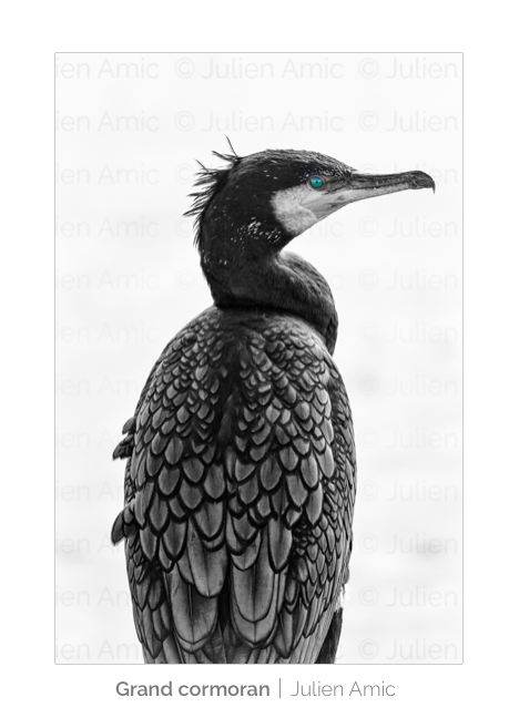 Grand cormoran, oeil, Julien Amic