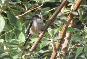 Long Tailed Tits 1