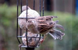 sparrow-004
