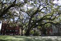 Savannah Oak Tree