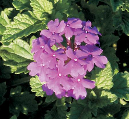 Verbana Homestead Purple