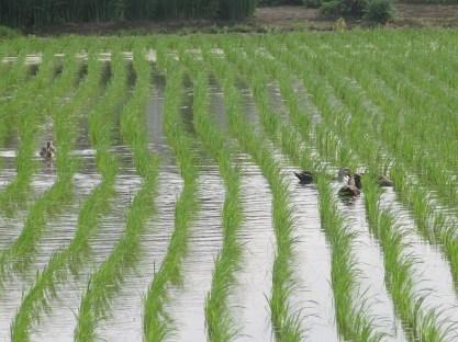 Ashikaga Ducks