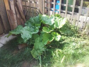 Rhubarb plants in front of fence, with grass and a few weeds.