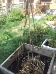 Bamboo sticks tied together in raised bed, with one bean plant just about visible