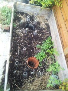 Raised bed with plastic bottle cloches and pots buried in soil, and some parsley.