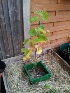 Another go at the grape vine, with snail defences from the start this time.