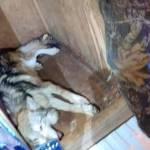 lobo mexicano capturado