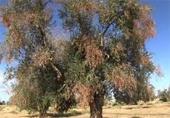 krnaker olivenbaum