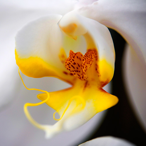 White Orchid with Yellow Column
