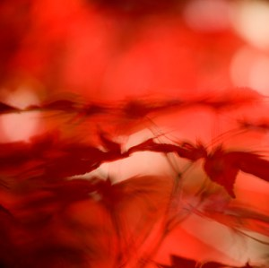 Japanese Maple Tree 5