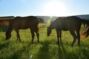 коне пасат на поляна
