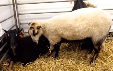 badger faced welsh mountain sheep - www.badgerfacesheep.co.uk