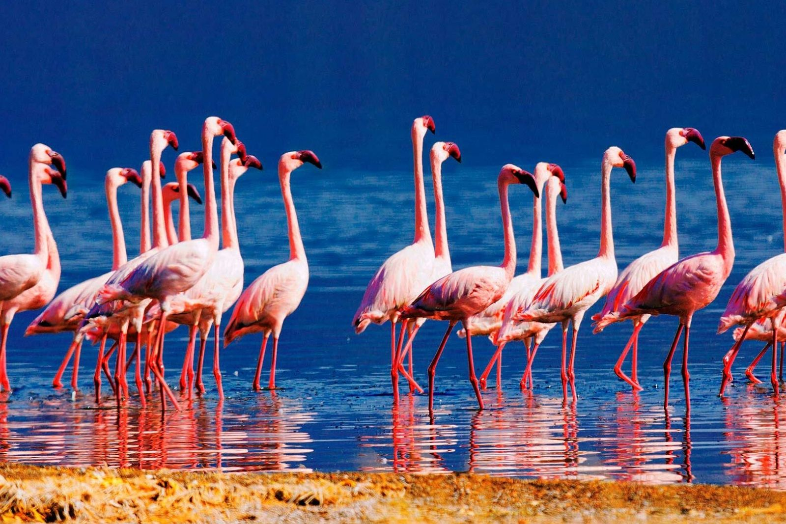 Flamingoes in lake bogoria national reserve