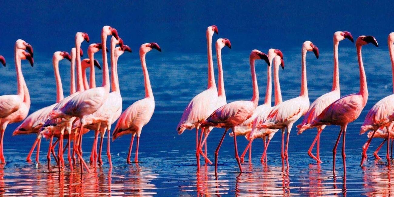 Flamingoes in lake bogoria national reserve